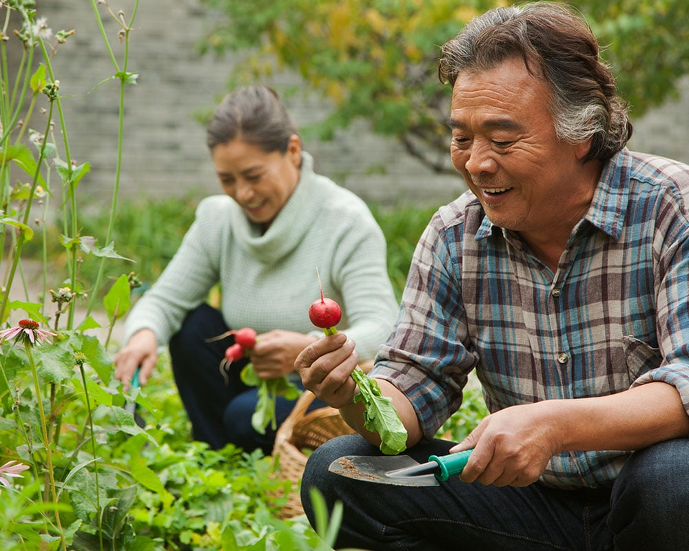 Happy couple picking radishes in garden